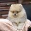 ปอมหน้าหมี เพศผู้ อายุ 2 เดือน สีส้ม ขาใหญ่ ขนแน่นฟู ทรงสั้นสวย ...แนะนำเข้าชมตัวจริงได้ที่ โชคชัย 4 ซ 36 นัดล่วงหน้าอย่างน้อย 1-2 ชม. ได้ที่ Line : @heropom Tel : 0890888441 นะครับ thumbnail 4