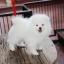 ปอมหน้าหมี เพศผู้ สีขาวครีม หน้าสั้น ฟอร์มสวย ขาใหญ่ สายเลือดดี ขนสวย อายุ 4 เดือนครับ ...แนะนำเข้าชมตัวจริงได้ที่ ลาดพร้าว 101 แยก 46 นัดล่วงหน้าอย่างน้อย 1-2 ชม. ได้ที่ Line : @heropom Tel : 0890888441 นะครับ thumbnail 1