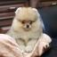 ปอมหน้าหมี เพศผู้ อายุ 2 เดือน สีส้ม ขาใหญ่ ขนแน่นฟู ทรงสั้นสวย ...แนะนำเข้าชมตัวจริงได้ที่ โชคชัย 4 ซ 36 นัดล่วงหน้าอย่างน้อย 1-2 ชม. ได้ที่ Line : @heropom Tel : 0890888441 นะครับ thumbnail 1