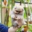 ปอมหน้าหมี เพศผู้ หน้าสั้น ขาใหญ่ สายเลือดดี ขนสวย อายุ 2 เดือนครับ ...แนะนำเข้าชมตัวจริงได้ที่ ลาดพร้าว 101 แยก 46 นัดล่วงหน้าอย่างน้อย 1-2 ชม. ได้ที่ Line : @heropom Tel : 0890888441 นะครับ thumbnail 1