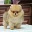 ปอมหน้าหมี เพศผู้ อายุ 2 เดือน สีส้ม ขาใหญ่ ขนแน่นฟู ทรงสั้นสวย ...แนะนำเข้าชมตัวจริงได้ที่ โชคชัย 4 ซ 36 นัดล่วงหน้าอย่างน้อย 1-2 ชม. ได้ที่ Line : @heropom Tel : 0890888441 นะครับ thumbnail 2