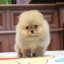 ปอมหน้าหมี หน้าสั้น เพศผู้ ขาใหญ่ สายเลือดดี ขนสวย อายุ 2 เดือนครับ ...แนะนำเข้าชมตัวจริงได้ที่ โชคชัย 4 ซ 36 นัดล่วงหน้าอย่างน้อย 1-2 ชม. ได้ที่ Line : @heropom Tel : 0890888441 นะครับ thumbnail 4