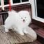 ปอมหน้าหมี เพศผู้ สีขาวครีม หน้าสั้น ฟอร์มสวย ขาใหญ่ สายเลือดดี ขนสวย อายุ 4 เดือนครับ ...แนะนำเข้าชมตัวจริงได้ที่ ลาดพร้าว 101 แยก 46 นัดล่วงหน้าอย่างน้อย 1-2 ชม. ได้ที่ Line : @heropom Tel : 0890888441 นะครับ thumbnail 4