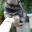 ปอมหน้าหมี เพศผู้ สีส้มเทา หน้าสั้น ขาใหญ่ สายเลือดดี ขนสวย อายุ 2 เดือนครับ ...แนะนำเข้าชมตัวจริงได้ที่ ลาดพร้าว 101 แยก 46 นัดล่วงหน้าอย่างน้อย 1-2 ชม. ได้ที่ Line : @heropom Tel : 0890888441 นะครับ thumbnail 4