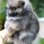 ปอมหน้าหมี เพศผู้ สีส้มเทา หน้าสั้น ขาใหญ่ สายเลือดดี ขนสวย อายุ 2 เดือนครับ ...แนะนำเข้าชมตัวจริงได้ที่ ลาดพร้าว 101 แยก 46 นัดล่วงหน้าอย่างน้อย 1-2 ชม. ได้ที่ Line : @heropom Tel : 0890888441 นะครับ thumbnail 2