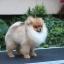 ปอมหน้าหมี เพศผู้ หน้าสั้น ขาใหญ่ สายเลือดดี ขนสวย ครับ ...แนะนำเข้าชมตัวจริงได้ที่ ลาดพร้าว 101 แยก 46 นัดล่วงหน้าอย่างน้อย 1-2 ชม. ได้ที่ Line : @heropom Tel : 0890888441 นะครับ thumbnail 2