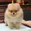 ปอมหน้าหมี เพศผู้ อายุ 2 เดือน สีส้ม ขาใหญ่ ขนแน่นฟู ทรงสั้นสวย ...แนะนำเข้าชมตัวจริงได้ที่ โชคชัย 4 ซ 36 นัดล่วงหน้าอย่างน้อย 1-2 ชม. ได้ที่ Line : @heropom Tel : 0890888441 นะครับ thumbnail 5