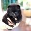 ปอมหน้าหมี เพศผู้ หน้าสั้น สีแบล็ค ขาใหญ่ สายเลือดดี ขนสวย อายุ 2 เดือนครับ ...แนะนำเข้าชมตัวจริงได้ที่ ลาดพร้าว 101 แยก 46 นัดล่วงหน้าอย่างน้อย 1-2 ชม. ได้ที่ Line : @heropom Tel : 0890888441 นะครับ thumbnail 1