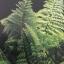 เฟิน ต้นตระกูลไม้ประดับ ฉบับปรับปรุงและเพิ่มเติม thumbnail 5