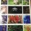 ดอกไม้ และประวัติไม้ดอกเมืองไทย หนังสือชุด ธรรมชาติศึกษา วิชัย อภัยสุวรรณ. ภาพและเรื่อง. ประวิทย์ เจริญพงศ์ บรรณาธิการ thumbnail 17