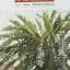 เฟิน ต้นตระกูลไม้ประดับ ฉบับปรับปรุงและเพิ่มเติม thumbnail 28