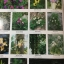 ดอกไม้ และประวัติไม้ดอกเมืองไทย หนังสือชุด ธรรมชาติศึกษา วิชัย อภัยสุวรรณ. ภาพและเรื่อง. ประวิทย์ เจริญพงศ์ บรรณาธิการ thumbnail 5