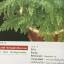 เฟิน ต้นตระกูลไม้ประดับ ฉบับปรับปรุงและเพิ่มเติม thumbnail 16