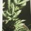 เฟิน ต้นตระกูลไม้ประดับ ฉบับปรับปรุงและเพิ่มเติม thumbnail 26
