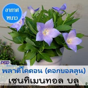 พลาตี้โคดอน เซนทิเมนทอล บลู (Sentimental blue) 2.94-3.15 บาท/เมล็ด