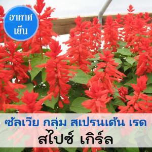 ซัลเวีย กลุ่ม สเปรนเด้น เรด สายพันธุ์ สไปซ์ เกิร์ล (Splenden Red - Spice Girl) 1.09-2.4 บาท/เมล็ด