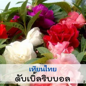 เทียนไทย ดับเบิ้ลริบบอล (Double Ribbon Series) 0.49 - 0.7 บาท/เมล็ด