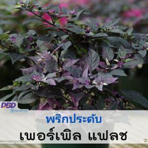 ไม้กระถาง พริกประดับ เพอร์เพิล แฟลช (Purple Flash) 5.4-10.00 บาท/เมล็ด