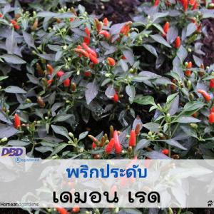 พริกประดับ เดมอน เรด ( Demon Red) 0.32-1.40 บาท/เมล็ด