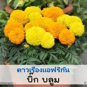 ดาวเรือง บิ๊ก บลูม (Big Bloom Series) 1.89-2.4 บาท/เมล็ด