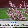 ซัลเวีย ค็อกซีเนีย&ซัมเมอร์จีเวล (Coccenea&SummerJewel Series) 1.47 - 1.98 บาท/เมล็ด