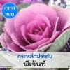 กะหล่ำประดับ พีเจ้นท์ (Pigeun Series) 1.29 - 1.8 บาท/เมล็ด