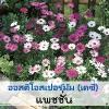 ออสติโอสเปอร์มัม แพชชั่น ( Passion Series) 5.79-6.20 บาท/เมล็ด