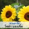 ทานตะวัน โซล่า แองเจิ้ล (Solar Angel) 2.89-5.52 บาท/เมล็ด