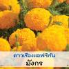 ไม้ตัดดอก ดาวเรือง มังกร (Mungkon Series) 1.49-2.00บาท/เมล็ด