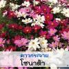 ดาวกระจาย โซนาต้า (Sonata Series) 1.44 - 1.96 บาท/เมล็ด