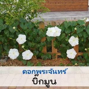 ไม้เลื้อย ดอกพระจันทร์ บิ๊กมูนไวท์ (BigMoon White) 1.99 - 3.25 บาท/เมล็ด