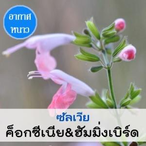 ซัลเวีย ค็อกซีเนีย&ฮัมมิ่งเบิร์ด (Coccenea&Hummingbird Series) 1.29 - 1.8 บาท/เมล็ด