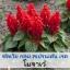 ซัลเวีย กลุ่ม สเปรนเด้น เรด สายพันธุ์ โมฮาเว่ (Splenden Red - Mojave) 0.9 - 1.5 บาท/เมล็ด