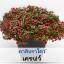 ไม้กระถาง คาลิบราโคว์ เคลพว์ [สตรอเบอร์รี่ สตาร์](Crave Series) 6.49 - 7.3 บาท/เมล็ด