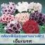 ไม้กระถาง กล็อกซีเนีย เอ็มเพรส มิกซ์ (Empress Mix) 1.69-2.2 บาท/เมล็ด