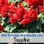 ซัลเวีย กลุ่ม สเปรนเด้น เรด สายพันธุ์ โอเอซิส (Splenden Red - Oasis) 0.9 - 1.5 บาท/เมล็ด