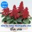 ซัลเวีย กลุ่ม สเปรนเด้น เรด สายพันธุ์ พิโค เรด (Splenden Red - Pico Red) 1.09-2.4 บาท/เมล็ด