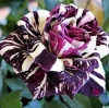 Dragon Rose ดอกสีม่วง-ขาว แพ็ค 10 เม็ด