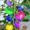 มะเขือเทศแฟนซี (Arcobraleno Tomato) แพ็ค 10 เม็ด