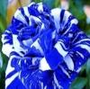 Dragon Rose ดอกสีฟ้า-ขาว แพ็ค 10 เม็ด