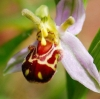 กล้วยไม้ Bee Orchid แพ็ค 50 เม็ด