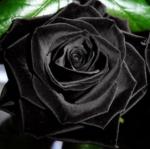 กุหลาบดอกสีดำ แพ็ค 10 เม็ด