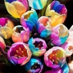 ทิวลิป ดอกสีรุ้ง แพ็ค 200 เม็ด