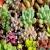 เมล็ดพันธุ์ Succulent (พืชอวบน้ำ)