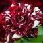 Dragon Rose ดอกสีแดง-ขาว แพ็ค 10 เม็ด