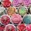 เมล็ดพันธุ์ Succulent ผสม แพ็ค 100 เม็ด