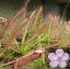 เมล็ดพันธุ์ ต้นหยาดน้ำค้าง แพ็ค 200 เม็ด