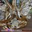 หงษ์ทองคู่เซมิคเคลือบทองแสนสง่า ขนาด 16.5*26.5*27 cm. thumbnail 5