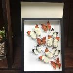 Real butterfly Art design in Premium Box ♥ ผีเสื้อเซ็ทในรูปแบบงานศิลปะในกล่องไม้ ♥