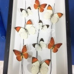 Real Butterfly Art Design in Premium Box